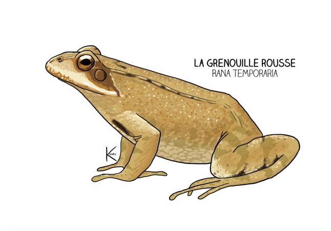 grenouillerousse